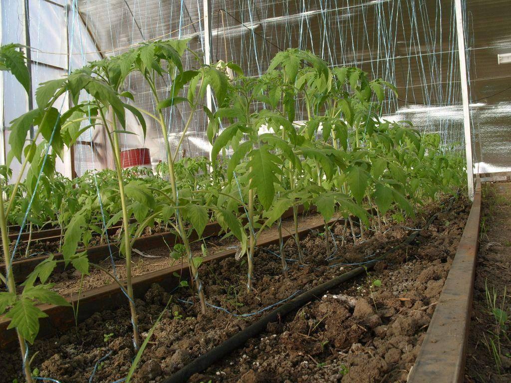 Выращивание помидоров в теплице из поликарбоната - как сажать и ухаживать