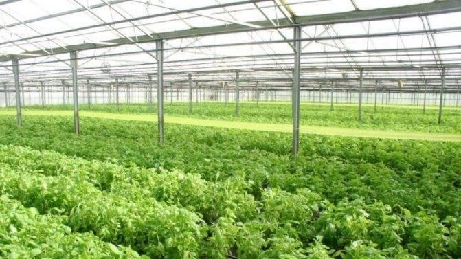 Формирование огурца в теплице, подкормка и другие нюансы выращивания