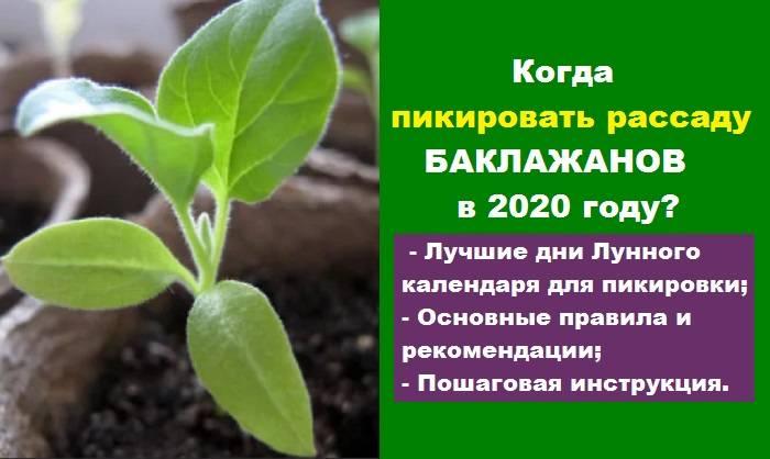 Посев баклажанов на рассаду по лунному календарю: полезные советы, благоприятные дни для посадки семян и когда сажать запрещено русский фермер