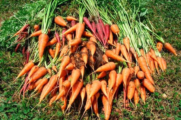 Как и когда выкапывать морковь с грядки осенью и как ее хранить?