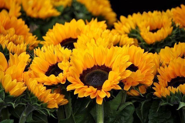 ✅ все о посадке декоративного подсолнуха: как ухаживать, выращивание из семян - tehnomir32.ru