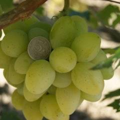 Сорт винограда сувенир