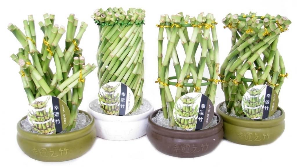 Драцена сандера: уход за растением в домашних условиях