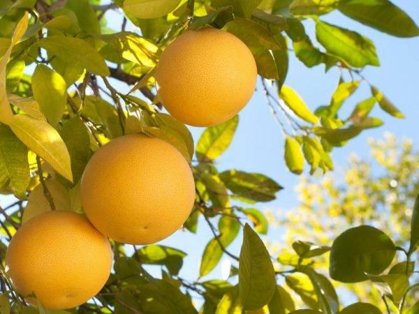 Свити фрукт. описание, полезные свойства свити