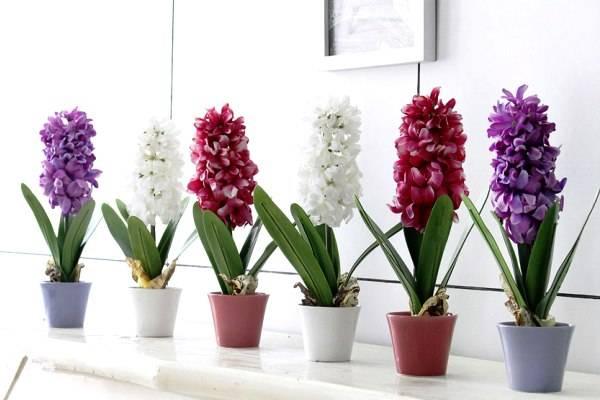 Гиацинт цветущий в горшке: как ухаживать после покупки и цветения