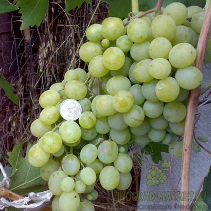 Сорт винограда фрумоаса альбе описание, отличительные качества гибрида