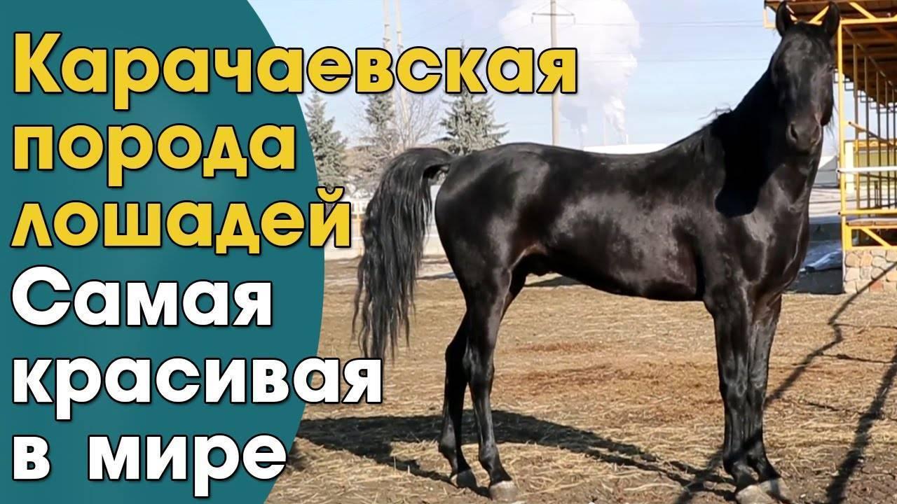 Карачаевская порода лошадей: история, экстерьер, применение