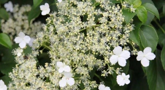 Гортензия черешковая вьющаяся, плетистая описание, посадка, фото