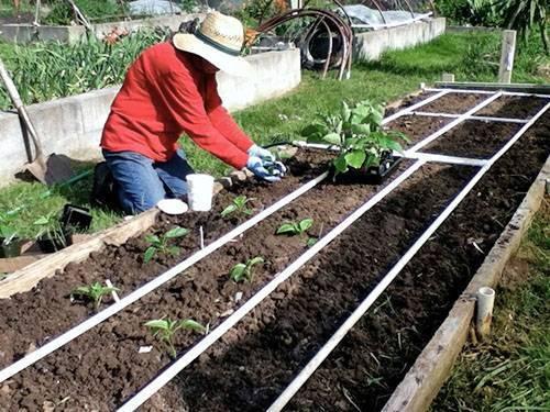 Баклажаны: выращивание и уход в открытом грунте, схема посадки