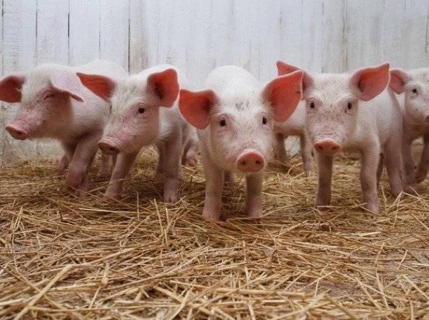 Африканская чума свиней (ачс) — признаки, симптомы и профилактика