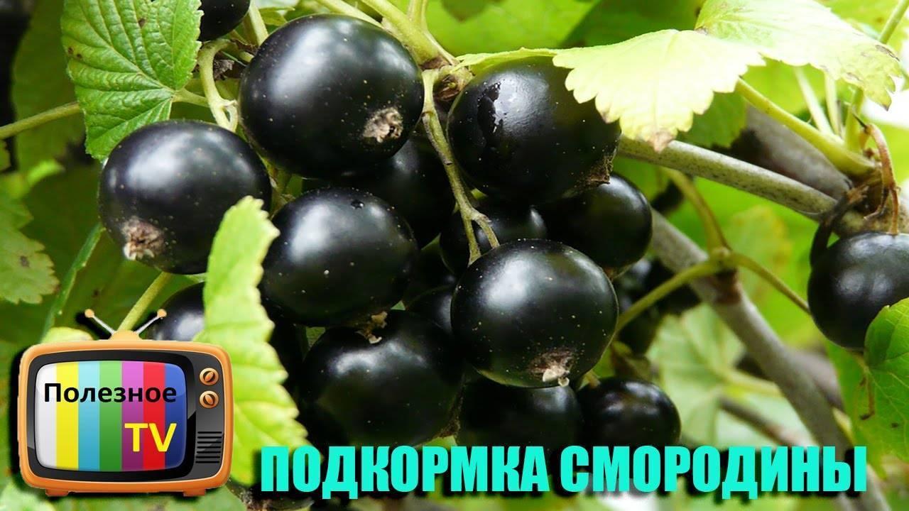 Подкормка черной и красной смородины для высокой урожайности