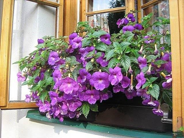 Цветок ахименес — тонкости выращивания и ухода