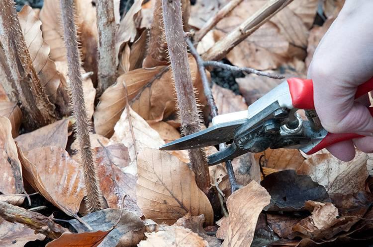 Обрезка малины осенью: схемы для начинающих и сроки
