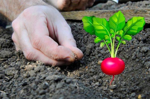 Как посадить редис в грунт | вырасти сад!