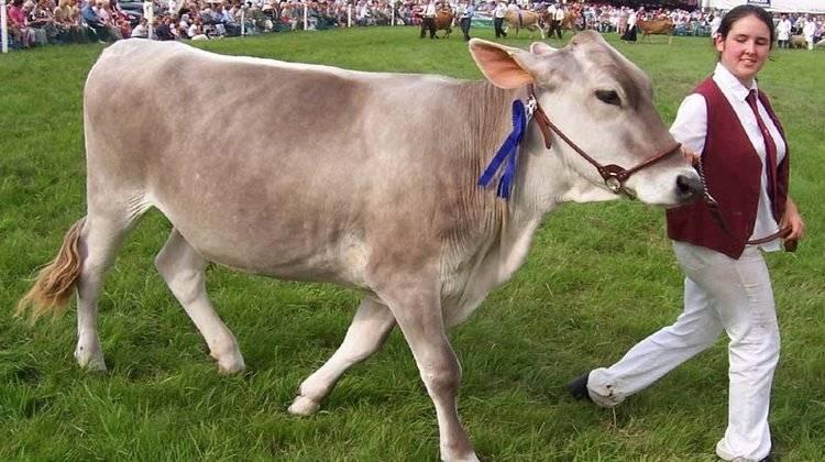 Костромская порода коров: характеристика и особенности содержания