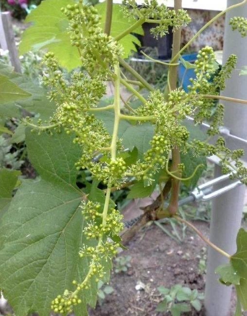 Ландыш милый, ландыш нежный: описание молодого сорта винограда