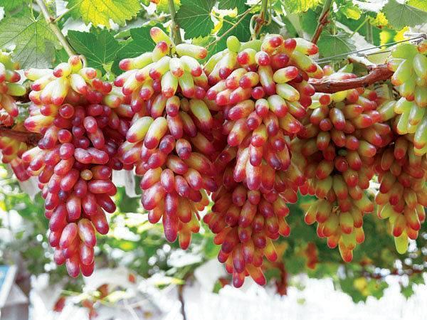 """Виноград """"маникюр фингер"""": описание сорта, фото, характеристики, выращивание selo.guru — интернет портал о сельском хозяйстве"""