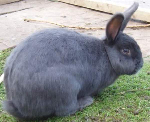 ᐉ венский голубой кролик: описание породы и характеристики - zooon.ru