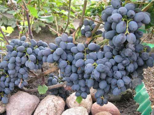 Галия сорт винограда