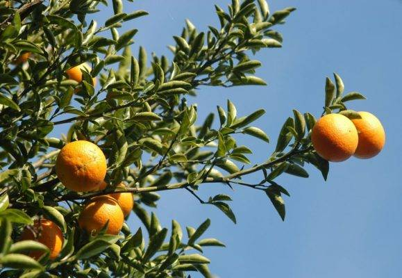 Апельсиновое дерево в домашних условиях - выращивание в горшке, уход