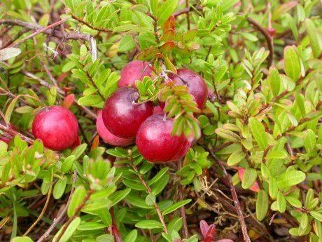 Всё про выращивание клюквы: виды и сорта, посадка и уход