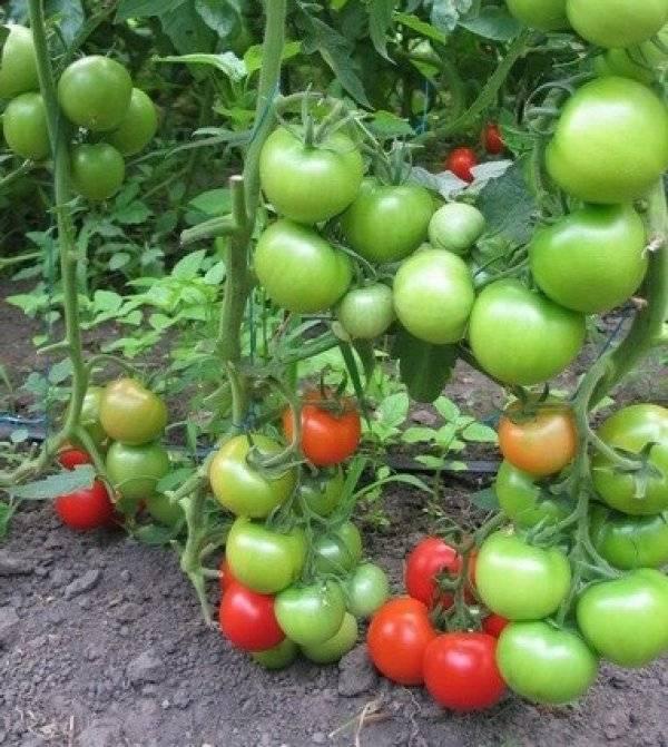 Томат татьяна: описание, отзывы, фото, урожайность сорта