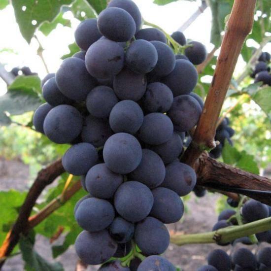 Описание сорта виноград краса севера: фото и отзывы