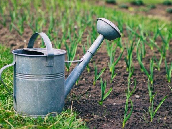 Чем подкормить чеснок в июле? подкормка для роста головок в начале и конце месяца. как подкармливать для лучшего урожая суперфосфатом и другими удобрениями?