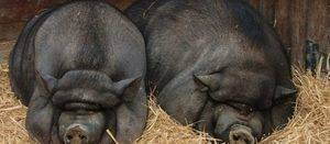 Вьетнамская свинья. описание, особенности, виды и разведение вьетнамских свиней | живность.ру