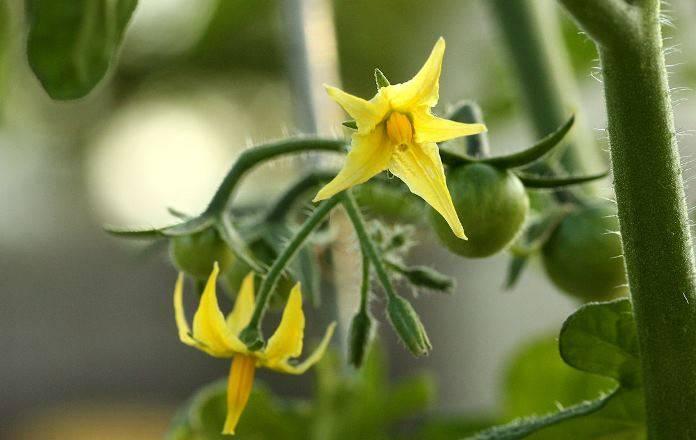 Подготовка почвы к посадке рассады. особенности выращивания томатов и помидор. | cельхозпортал