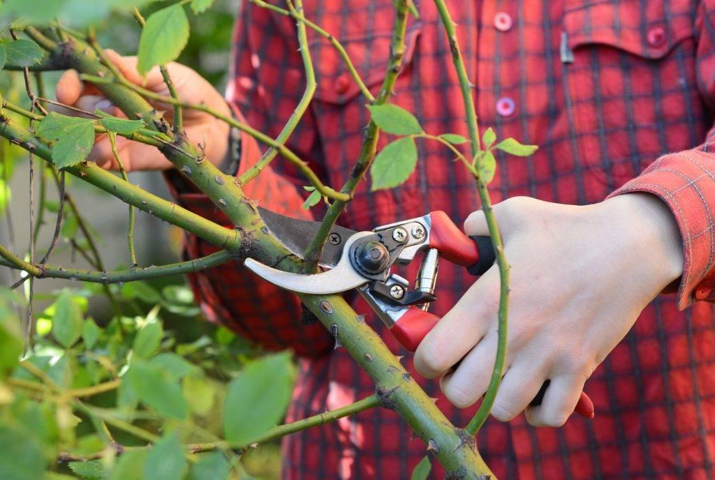 Обрезка плетистых роз осенью для начинающих обрезка плетистых роз осенью для начинающих
