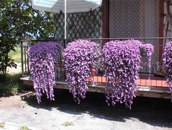 Вьющиеся цветы для сада (44 фото): названия растений для дачи. плетущиеся вьюны и тенелюбивые ползучие лианы, другие виды