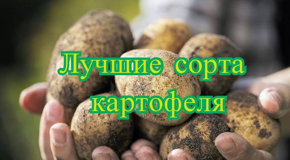 Лучшие сорта картофеля: описание, отзывы, фото, урожайность, выбор сорта: требования