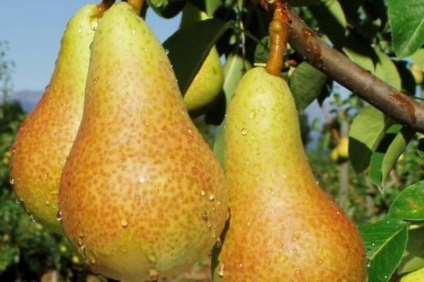 Груша аббат: описание и характеристика сорта, выращивание, посадка и уход