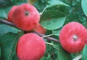 Яблони с закрытой корневой системой: выбор саженца, правила посадки