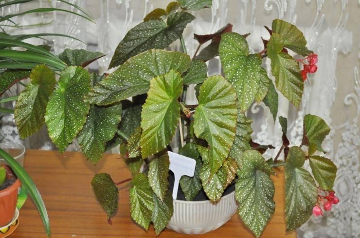 Бегония: выращивание в домашних условиях
