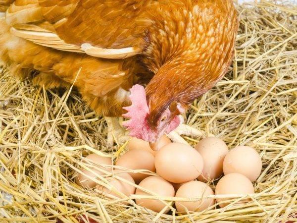 Сколько дней курица высиживает яйца, подготовительный процесс, стадии развития