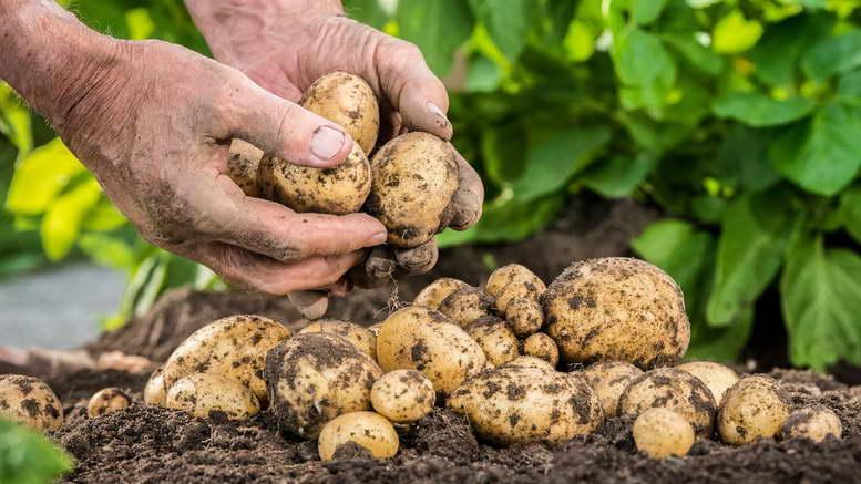Подкормка картофеля во время и после посадки - как выбрать?   огородник чем удобрять картофель во время и после посадки?   огородник