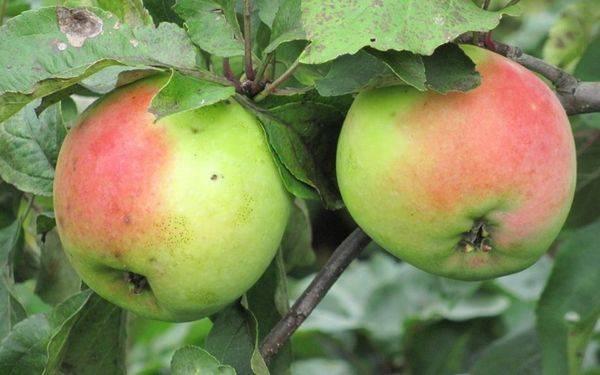 Обзор лучших сортов зимних яблонь |