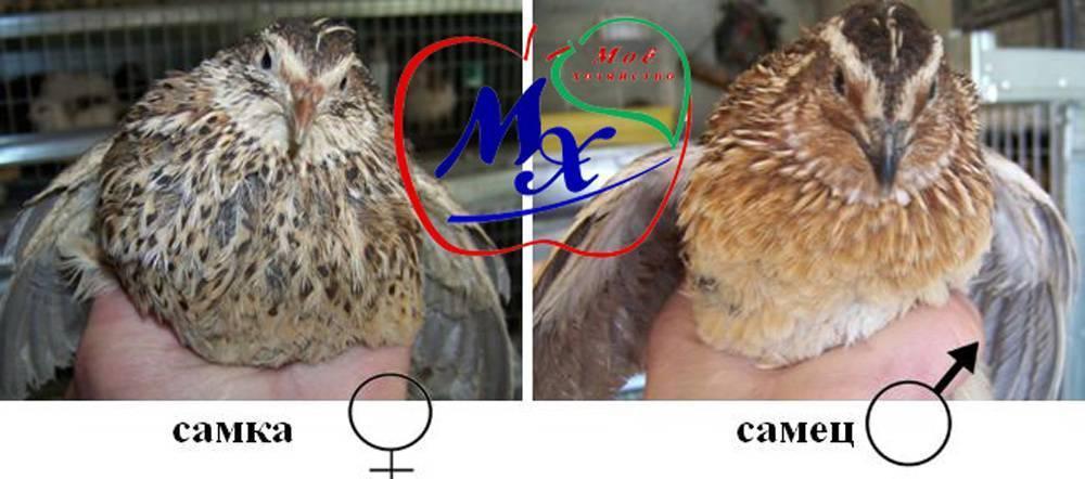 Как отличить перепелов самку от самца (перепела от перепелки)