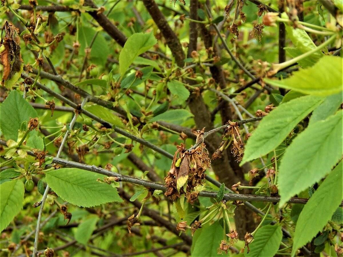 Почему у вишни сохнут концы веток: что делать