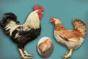 Загорская лососевая порода кур: описание, характеристика продуктивности