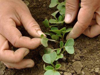 Посадка редиса весной – некоторые особенности посева и хитрости ухода