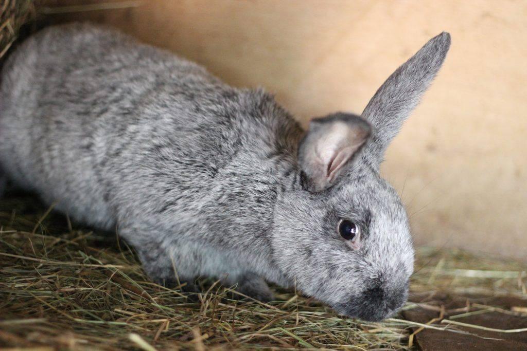 Кролики породы полтавское серебро: разведение и содержание