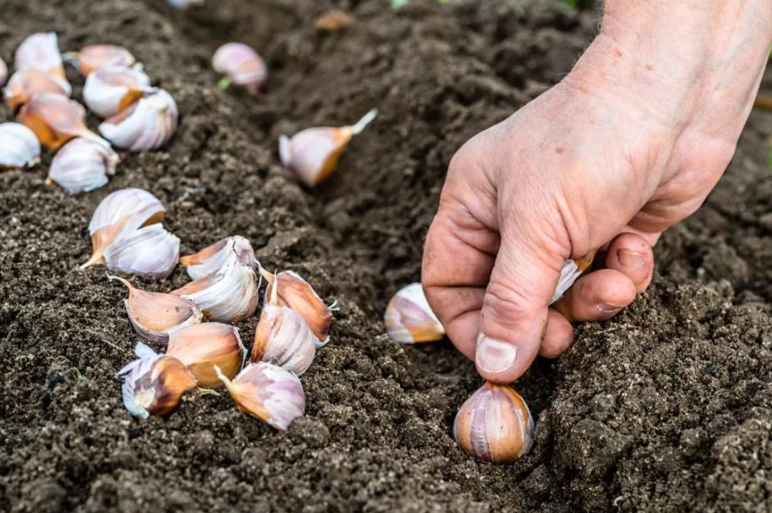 Что делать если озимый чеснок посадили весной. правильная посадка чеснока весной в открытый грунт