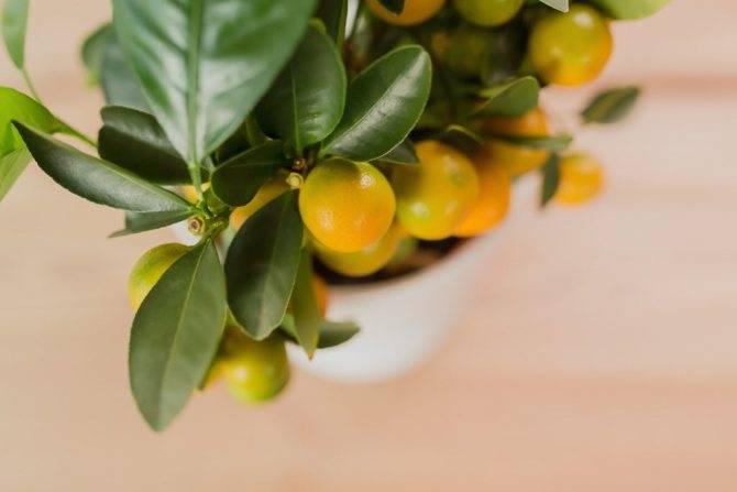 Цитрусовые растения дома - выращивание, пересадка, уход