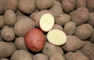 """Картофель """"рамона"""": описание сорта, характеристики, фото, советы по уходу русский фермер"""
