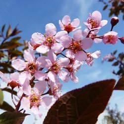 Черемуха колората и маака: душистые гости весеннего сада