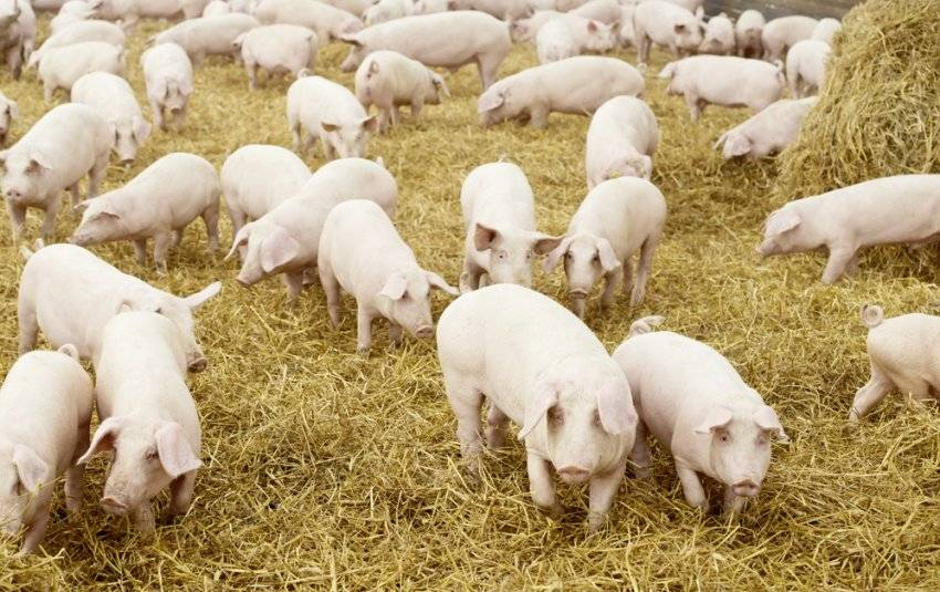Свиньи как бизнес: свиноводство, домашнее разведение