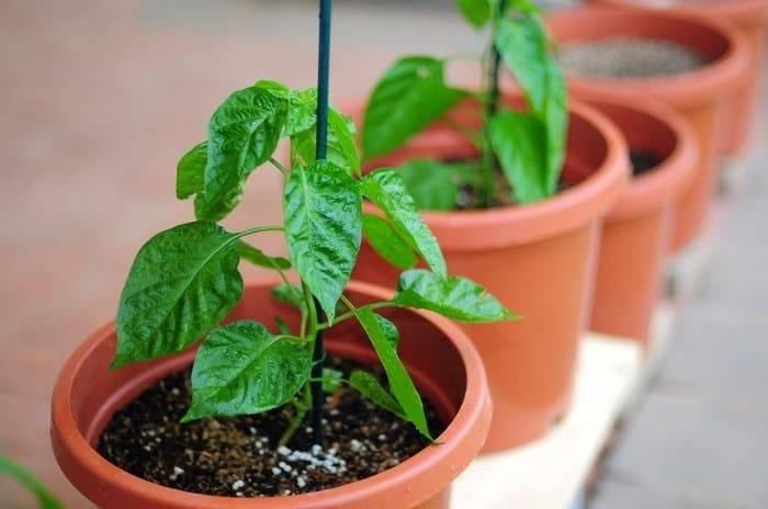Подкормка рассады перца: когда и чем подкармливать, виды удобрений